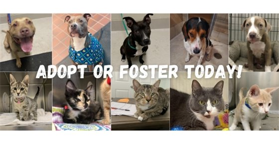 Adopt or Foster Today! Many imags of cats and dogs in the background.