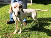 Roscoe (two year-old male pointer) has been at the shelter since September
