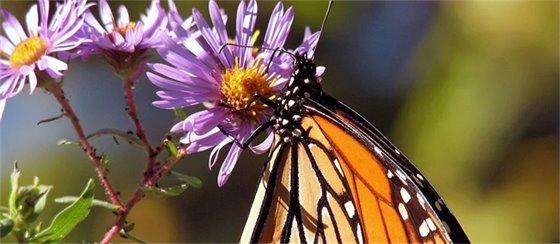 Monarch butterfyl