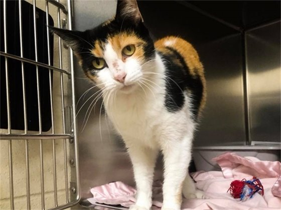 Clareese, ID#A102342 -  a female calico about two years old