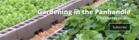 Gardening in the Panhandle with UF/IFAS Extension. Subscribe to newsletter.