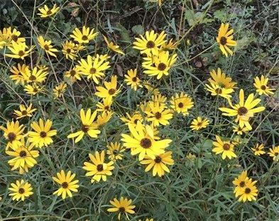 Narrowleaf (or swamp) sunflowers