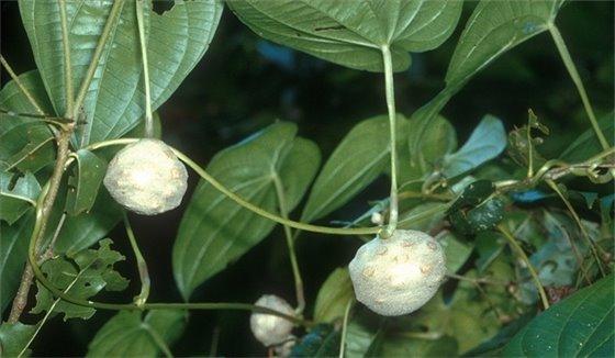 Air potato plant. Photo by Ken Langeland, University of Florida