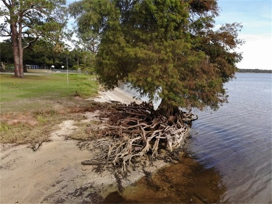 Large tree on the shore at Floridatown Park