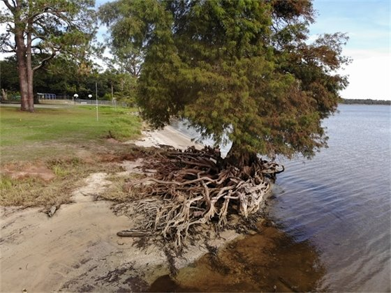 Large tree with a lot of roots on the shoreline of Floridatown Park