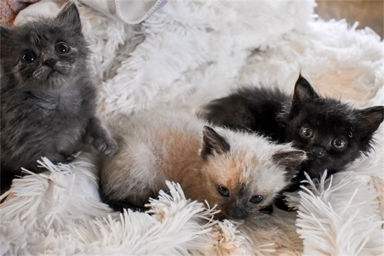 Grey, siamese and black foster kittens laying on blanket